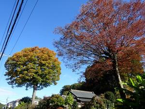 Aihara_keyaki