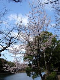 Ookanzakura