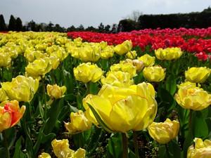 Tulip05