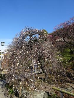 Tamagakishidare01