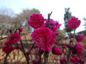 Kagoshimako