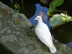 Genpei0_pigeon